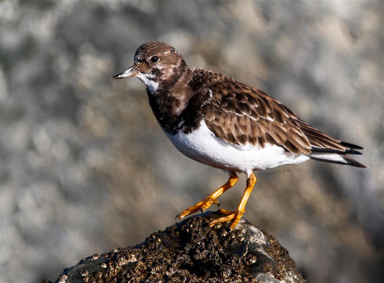 Ruddy Turnstone (Arenaria interpres) -- Zeeland / Netherlands -- December 2013