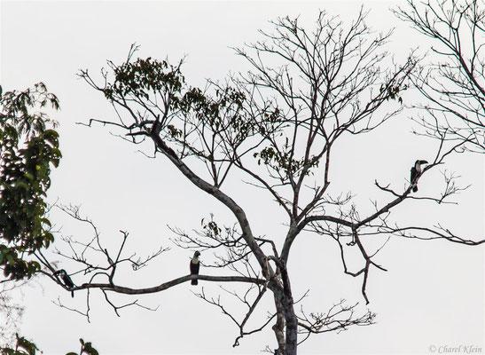 White-throated Toucan (Ramphastos tucanus) -- Peru / Centro De Rescate Taricaya