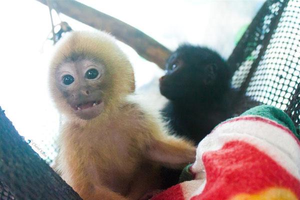 White-fronted capuchin &  Peruvian spider monkey   -- Peru / Centro De Rescate Taricaya