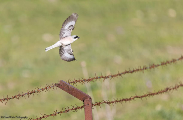 Lesser Grey Shrike     (Lanius minor)    -- Turkey