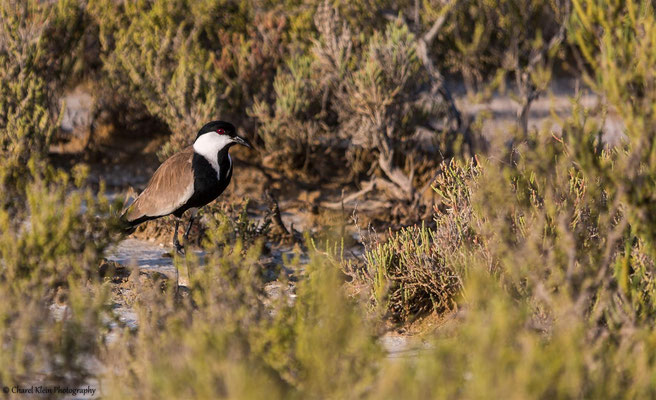 Spur-winged Lapwing (Vanellus spinosus) -- Birdingtrip Turkey  -- May 2015