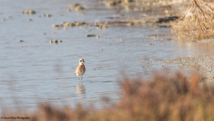 Greater Sand Plover (Charadrius leschenaultii) -- Birdingtrip Turkey -- May 2015