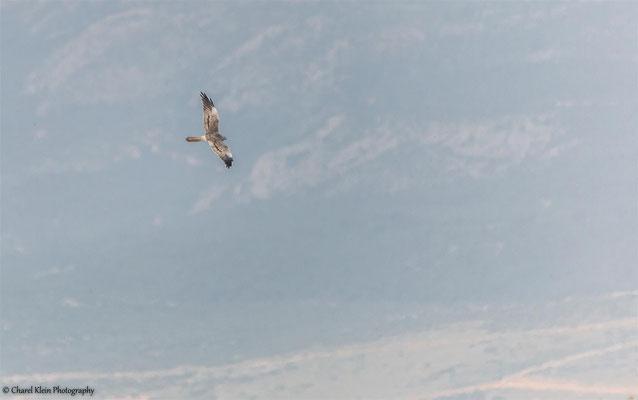 Montagu's Harrier (Circus pygargus) -- Birdingtrip Turkey 2015