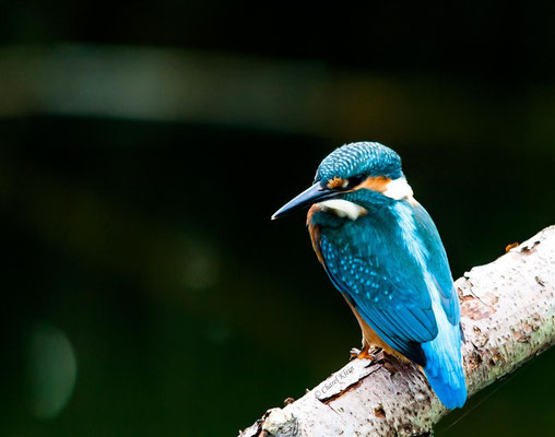 Kingfisher ( Alcedo atthis) -- Luxembourg