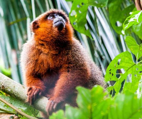 Dusky titi monkey (-- Peru / Centro De Rescate Taricaya