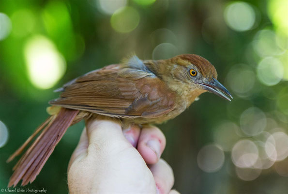 Chestnut-crowned Foliage-Gleaner (Automolus rufipileatus) -- 2016