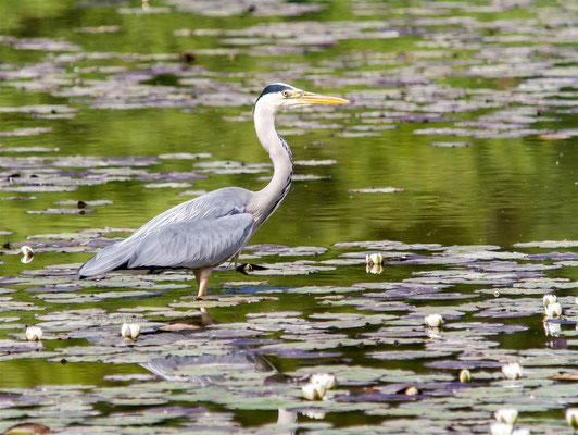 Grey Heron (Ardea cinerea) -- Camargue / France -- Saint Louis / France