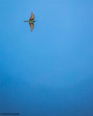 European Bee-eater (Merops apiaster) -- Kaiserstuhl / Germany