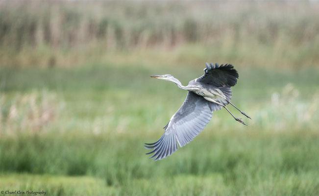 Grey Heron   (Ardea cinerea)   --   Drass / Germany   --   September 2014