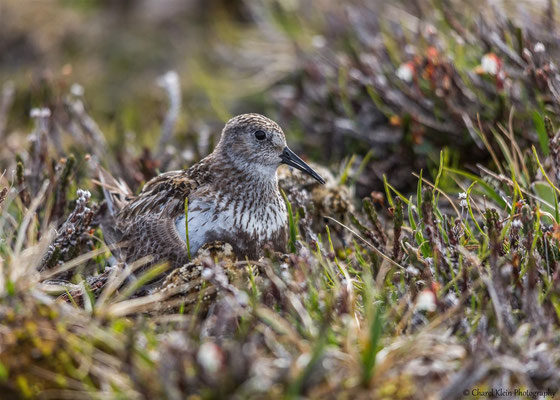Dunlin         (Calidris alpina artica)   -- Traill / Karupelv Valley Project / Greenland   -- July 2015