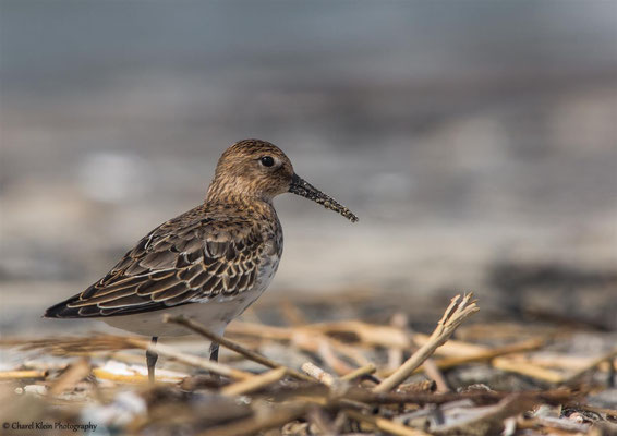 Dunlin         (Calidris alpina)   -- Roadtrip / Belgium  --   September 2015