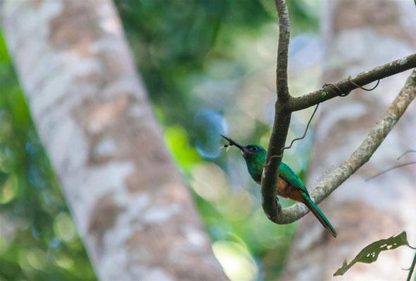Bluish-fronted Jacamar (Galbula cyanescens) -- Peru / Centro De Rescate Taricaya
