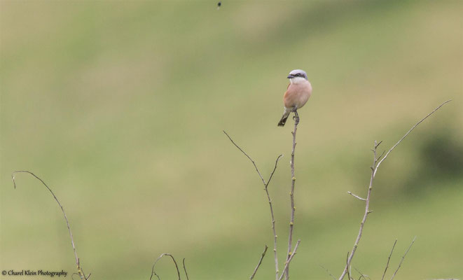 Red-backed shrike   (Lanius collurio)  -- Germany