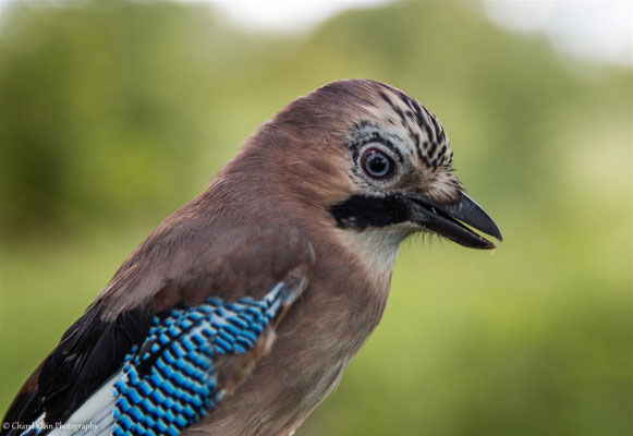 <Birdringingactivity> Eurasian Jay (Garrulus glandarius) -- Luxmebourg