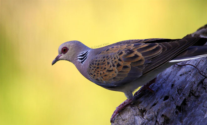 Turtle Dove (Streptopelia turtur) -- Camargue / France