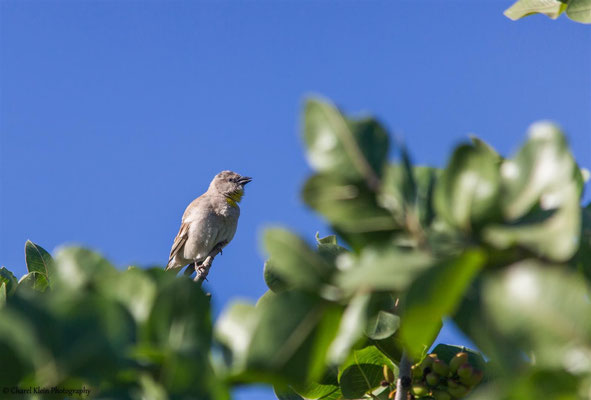 Yellow-throated Sparrow (Gymnoris xanthocollis) -- Birdingtrip Turkey 2015