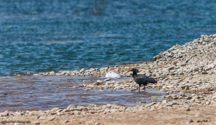 Northern Bald Ibis (Geronticus eremita) -- Birdingtrip Turkey 2015