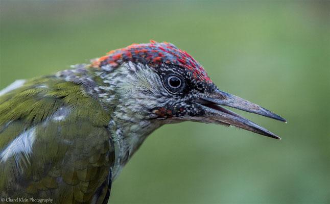 European Green Woodpecker juvenile