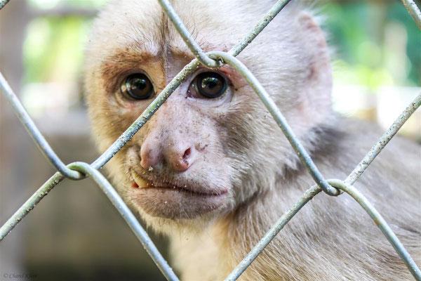 White-fronted capuchin -- Peru / Centro De Rescate Taricaya