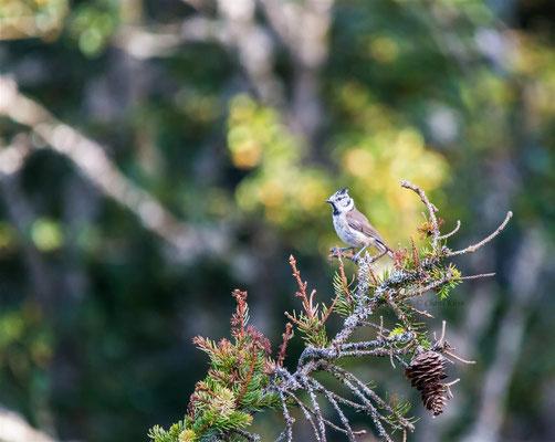 European crested tit   (Lophophanes cristatus) -- Lac Blanc / Vosges / France