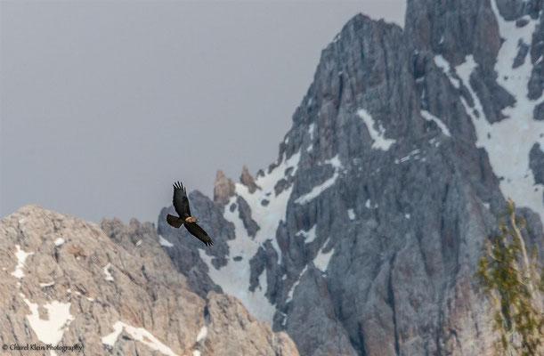 Steppe Buzzard (Buteo buteo vulpinus) -- Birdingtrip Turkey 2015