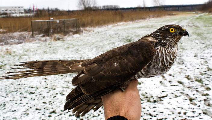 Eurasian Sparrowhawk juvenile female