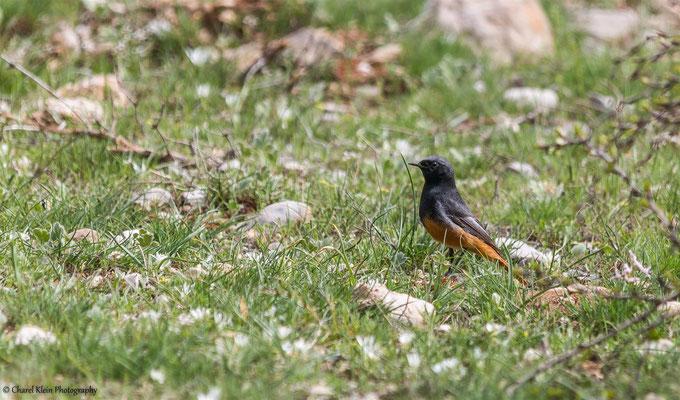 Black Redstart       (Phoenicurus ochruros semirufus)    -- Birdingtrip Turkey 2015