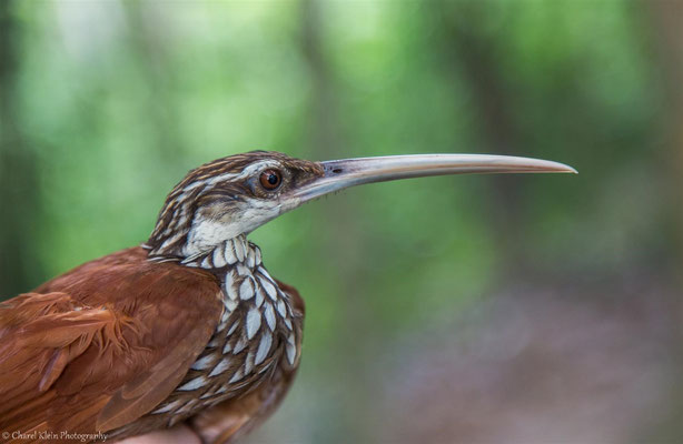 Long-billed Woodcreeper (Nasica longirostris)  --  2016