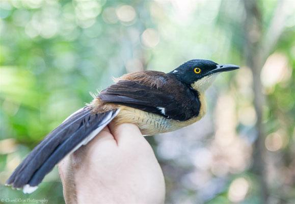 Black-capped Donacobius (Donacobius atricapilla) -- 2016
