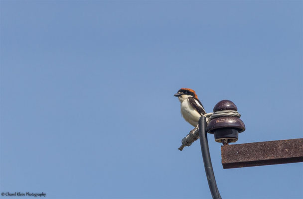 Woodchat Shrike    (Lanius senator)   -- Turkey