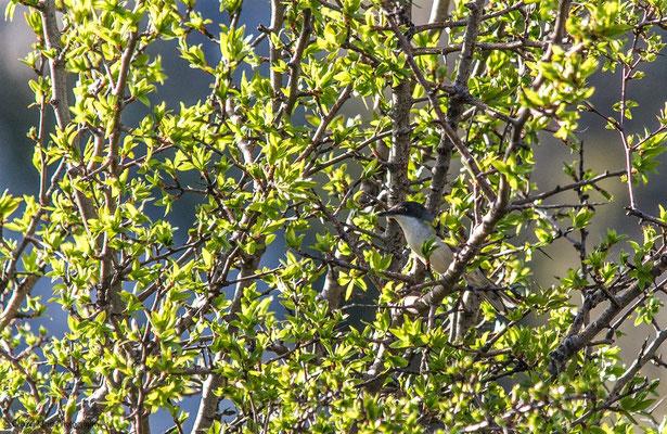 Eastern Orphean Warbler (Sylvia crassirostris) -- Birdingtrip Turkey 2015