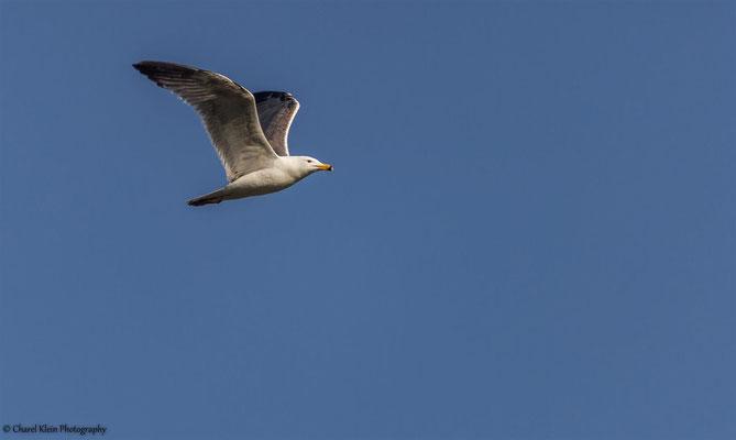 Armenian Gull (Larus armenicus ) -- Birdingtrip Turkey 2015