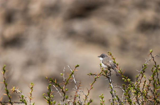 Lesser Whitethroat (Sylvia curruca) -- Birdingtriip Turkey 2015