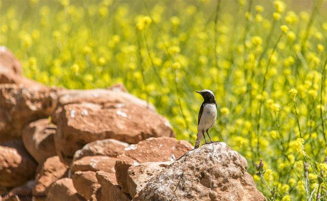 Finsch's Wheatear    (Oenanthe finschii)    -- Birdingtrip Turkey 2015