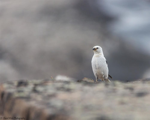 Snow Bunting     (Plectrophenax nivalis insulae)  -- Trail / Karupelv Valley Project / Greenland -- 2015