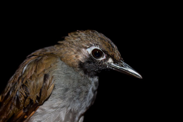 Black-faced Antthrush (Formicarius analis) -- 2013