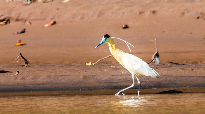 Capped Heron  (Pilherodius pileatus) -- Peru / Centro De Rescate Taricaya