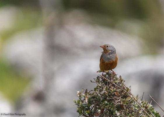 Cretzschmar's Bunting    (Emberiza caesia)    -- Birdingtrip Turkey 2015