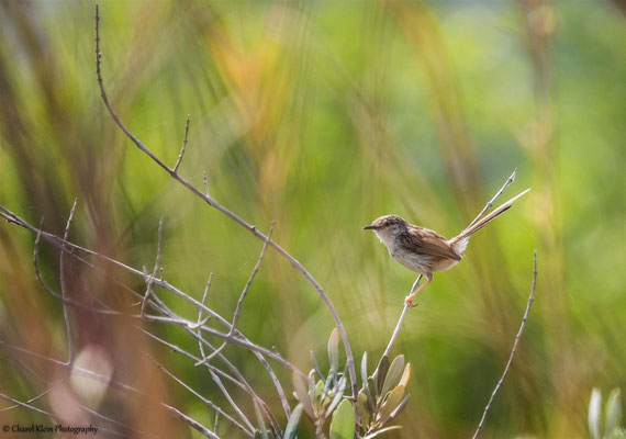 Graceful Prinia (Prinia gracilis) -- Birdingtrip Turkey 2015