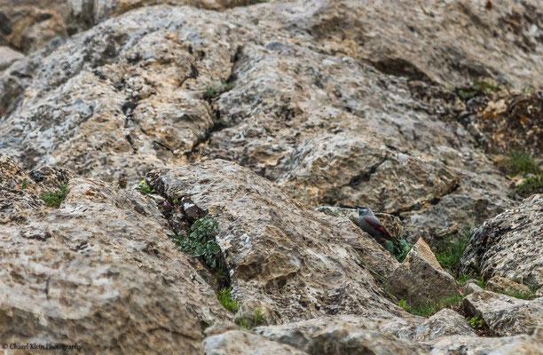 Wallcreeper    (Tichodroma muraria)    -- Birdingtrip Turkey 2015