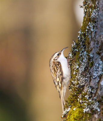 Common Treecreeper   (Certhia familiaris) -- Germany