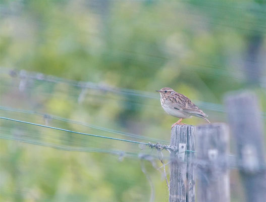 Woodlark (Lullula arborea) / juvenile Woodlark in my vineyards  -- 2014 / Luxembourg