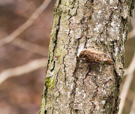 Common Treecreeper (Certhia familiaris) -- Luxembourg