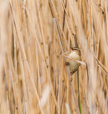 Schilfrohrsänger      Sedge Warbler     (Acrocephalus schoenobaenus)Schilfrohrsänger      Sedge Warbler     (Acrocephalus schoenobaenus)