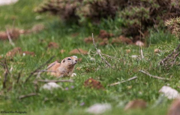 Anatolian Souslik     (Spermophilus xanthoprymnus)   -- Birdingtrip Turkey 2015
