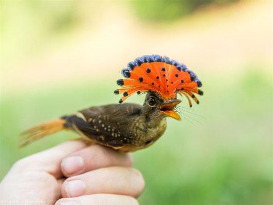 Amazonian Royal Flycatcher - male (Onychorhynchus coronatus castelnaui) -- 2016