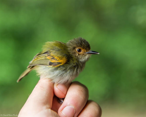 Rusty-fronted Tody-flycatcher (Poecilotriccus latirostris) -- 2016