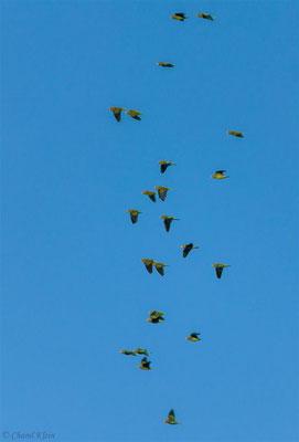 Cobalt-winged Parakeet (Brotogeris cyanoptera) -- Peru / Centro De Rescate Taricaya