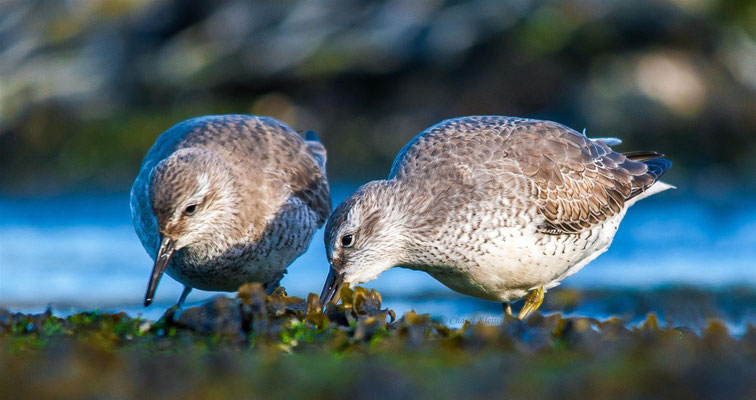 Red Knot (Calidris canutus) -- Zeeland / Netherlands -- December 2013