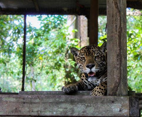 Jaguar -- Peru / Centro De Rescate Taricaya
